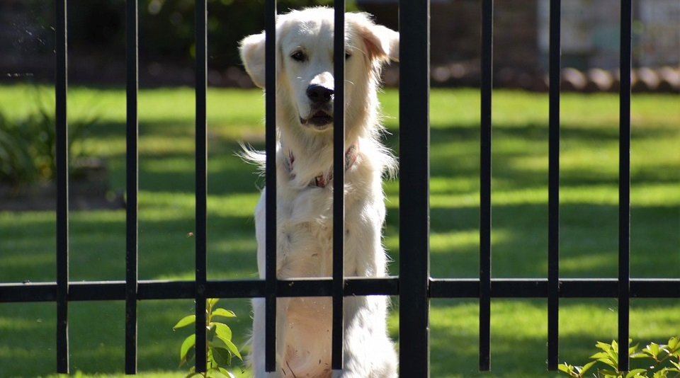 Dog at Gate - Wide