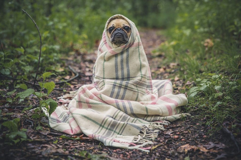 Pug covered up in Towel